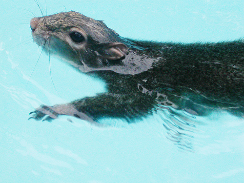squirrel_flood_swimming
